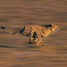 Indian wildlife team to visit African Savannah in July to train in relocating cheetah to MP's Kuno National Park
